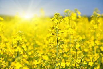Aluminium Prints Yellow Flowering rapeseed