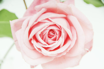 Beautiful pure rose shot