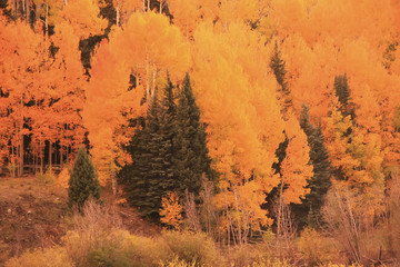 Wall Mural - Aspen forest in a fall, Colorado