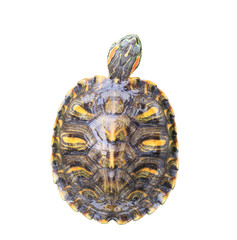 Red Eared Slider Turtle on white background