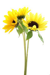 Small sunflowers isolated on white background