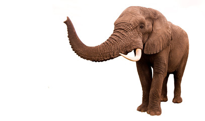 Wall Mural - Elephant Isolated