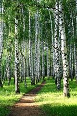 Wall Mural - Evening pathway in the summer birch grove