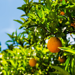 Oranges on a citrus tree.