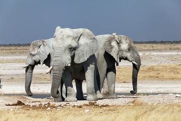 group of elephants in the national park of Namibia