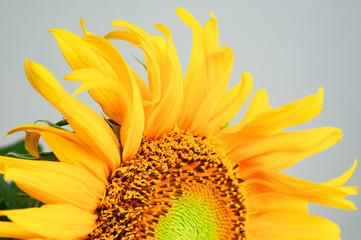 beautiful sunflower close-up on gray background
