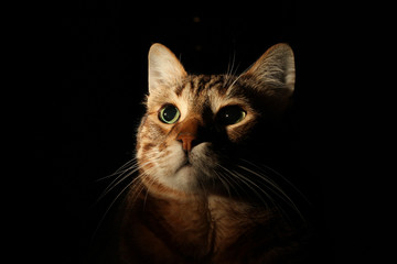 Tabby cat portrait with black background