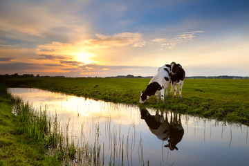 Wall Mural - two cows by river at sunset