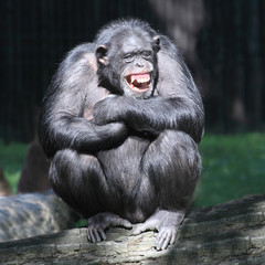 Smiling happy Chimpanzee.