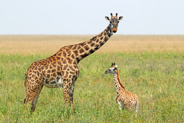 Baby giraffe and mother