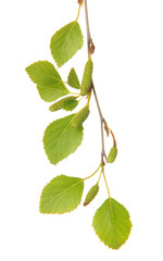 Green birch leaves isolated on white