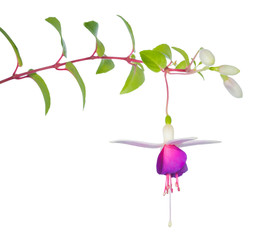 fuchsia flower branch isolated on white background, La Campanell