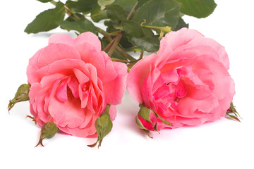 two pink roses with buds isolated on a white background.