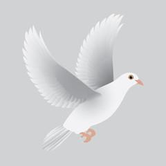 white dove isolated gray vector