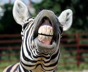 zebra smile and teeth