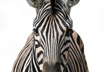 Canvas Prints Zebra Isolated zebra