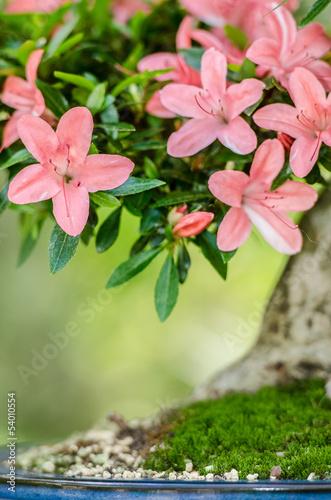 rosa bl ten an einem satsuki azaleen bonsai baum. Black Bedroom Furniture Sets. Home Design Ideas