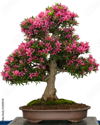 bl hender azaleen bonsai baum mit rosa bl ten stockfotos. Black Bedroom Furniture Sets. Home Design Ideas