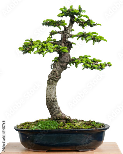 fichte picea orientalis als bonsai baum stockfotos und lizenzfreie bilder auf. Black Bedroom Furniture Sets. Home Design Ideas