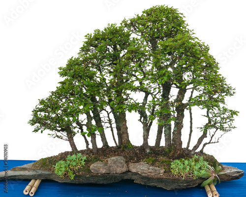wald aus ulmen bonsai zelkova nire stockfotos und. Black Bedroom Furniture Sets. Home Design Ideas