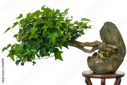 efeu hedera helix als bonsai baum stockfotos und lizenzfreie bilder auf bild. Black Bedroom Furniture Sets. Home Design Ideas