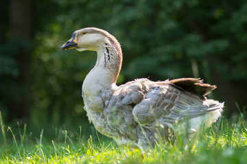 white and brown goose in green