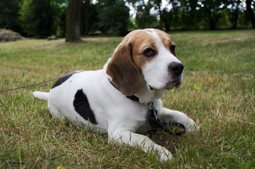 Beagle dog sitting on the grass in the park and waiting