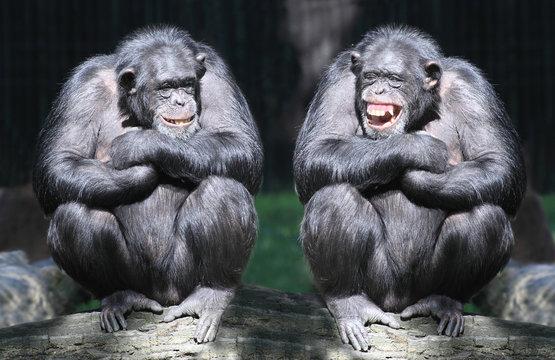 Two chimpanzees have a fun.