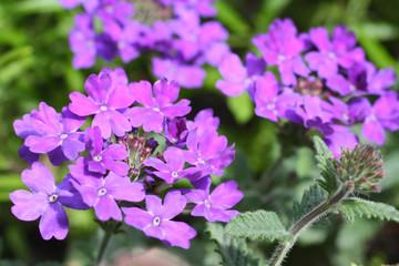 Beautiful verbena close up