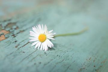White daisy close up