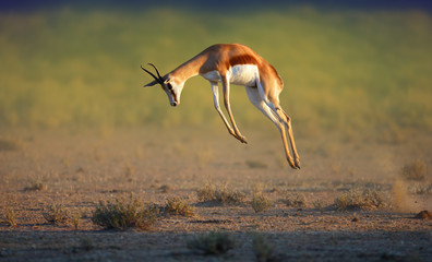 Running Springbok jumping high Wall mural