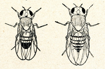 Common fruit fly (Drosophila melanogaster; male left)