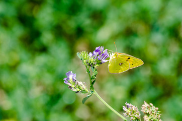 Yellow butterfly over the violet flower