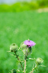 Thsistle flower over green grass background