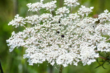 White blossoms of the wild carrot in the field