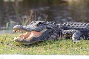 aggressive alligator