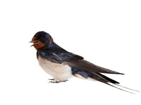 Barn Swallow, Hirundo rustica isolated on white background