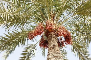 Ripen dates clusters