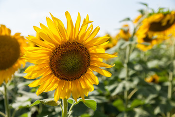 lonely growing sunflowers