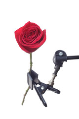 Red rose mounted on tripod