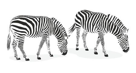 zebra1207c