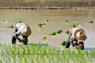 Thai farmers planting on the paddy rice farmland