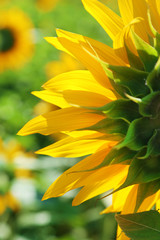 Beautiful sunflower in the field, close up