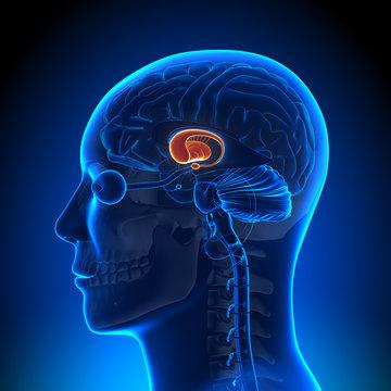 Brain Anatomy - Basal Ganglia