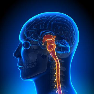 Brain Anatomy - Spinal cord