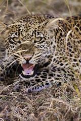 Wall Mural - Leopard Growling