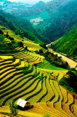 Photo sur Plexiglas Jaune Rice fields of terraced in Vietnam