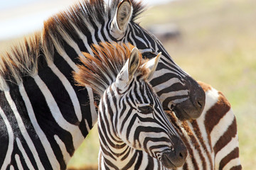 Baby zebra with mother Wall mural