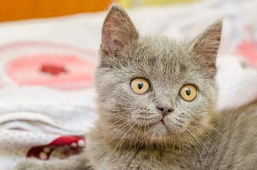 British Shorthair Cat Relaxing