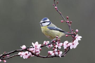 Fotoväggar - Blue tit, Parus caeruleus